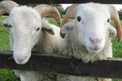 1_sheep