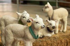 sheep_homepage