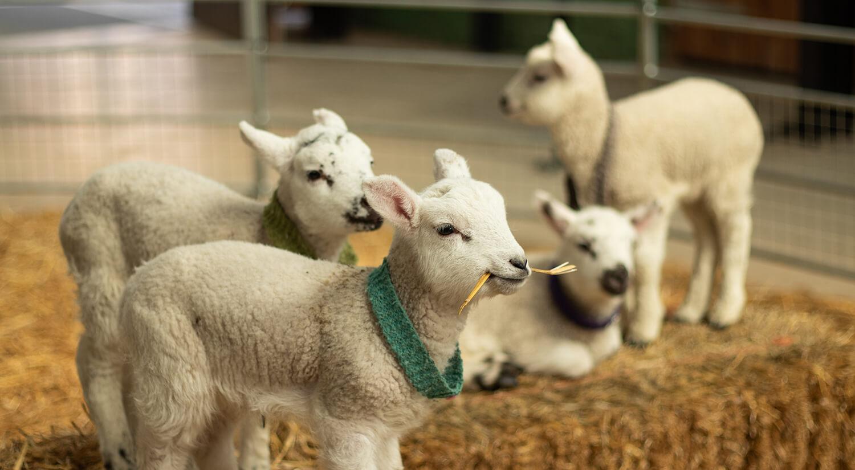 Baby lambs at Newham Grange Farm