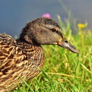 A photo of a duck