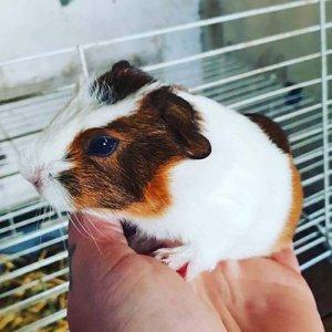 A photo of a guinea pig