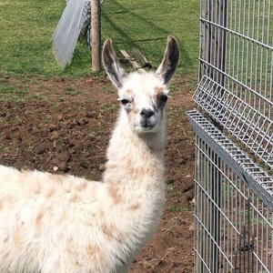 A photo of a llama