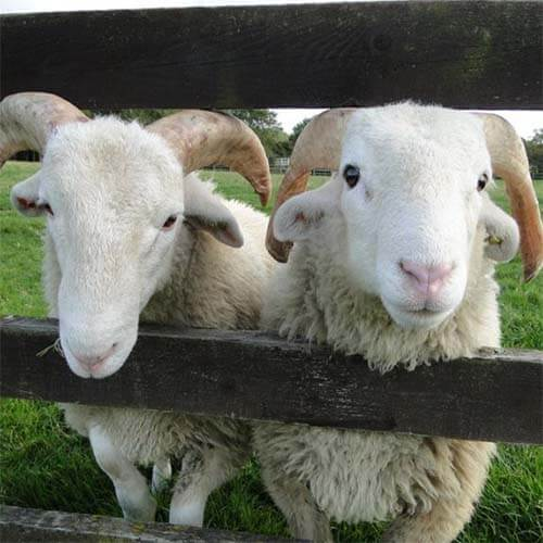 A photo of two sheep looking through a fence