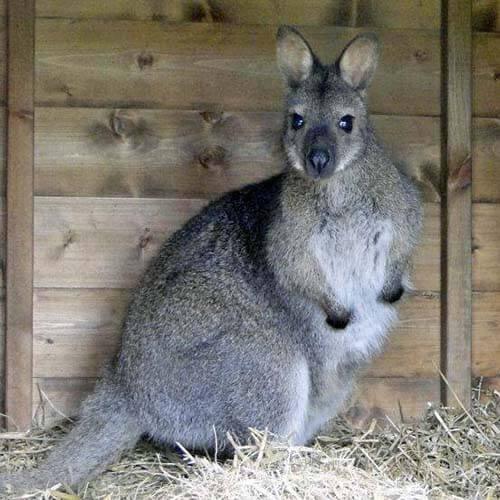 A photo of a wallaby