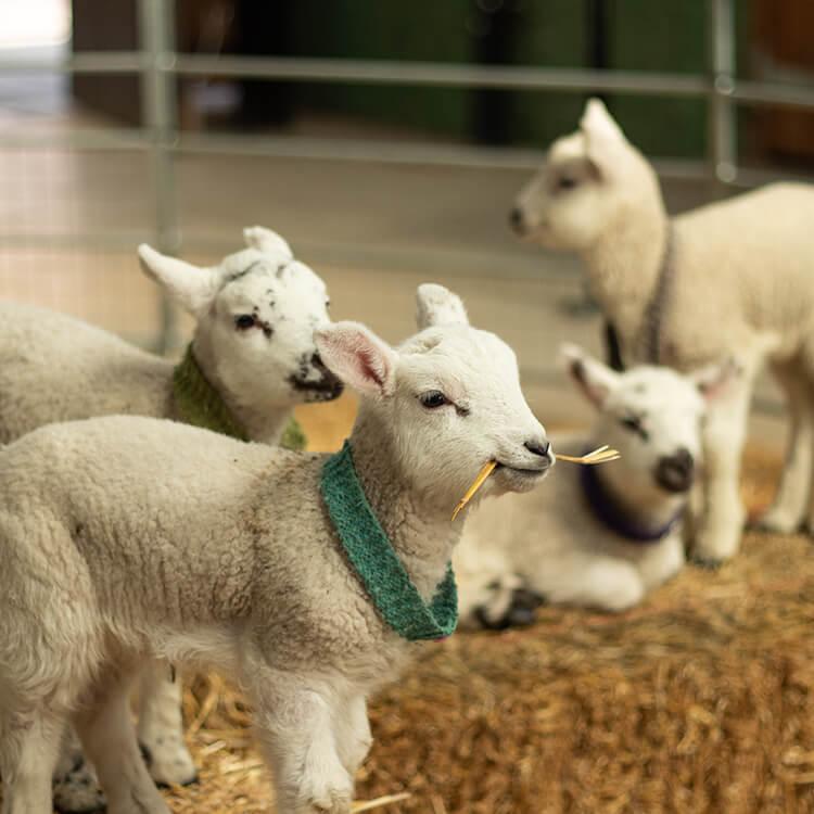 Lamb at Newham Grange